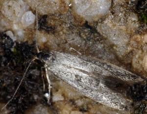 Denisia nubilosella 2