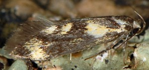 Denisia similella 3