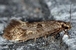Denisia stipella 2