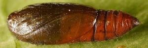 Depressaria albipunctella