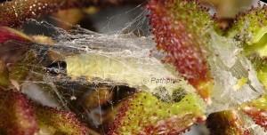 Depressaria dictamnella nid L4 05 1