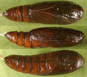 Depressaria gallicella
