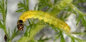 Depressaria olerella L4 06 1