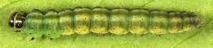 Depressaria (Depressaria) silesiaca Heinemann, 1870