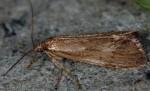 Diurnea lipsiella (I, L4, P)