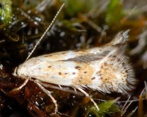 Elachista agelensis 3