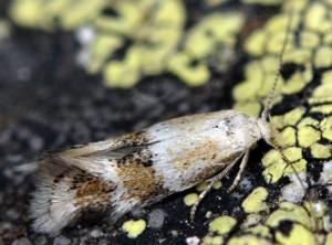 Elachista agelensis 5