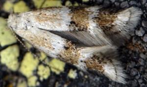 Elachista agelensis 6