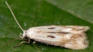 Elachista albidella 1