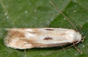 Elachista albidella 3