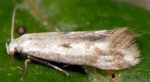 Elachista albidella 4