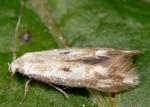 Elachista albidella (I)