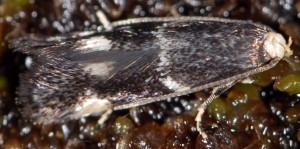 Elachista albifrontella 8