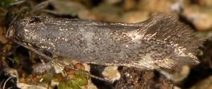 Elachista alpinella 2