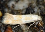 Elachista anserinella (I)