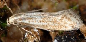 Elachista anserinelloides 1