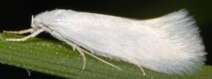 Elachista argentella 1