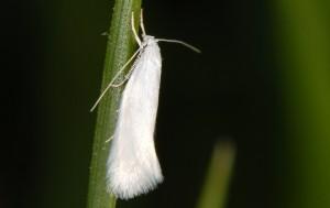 Elachista argentella 2