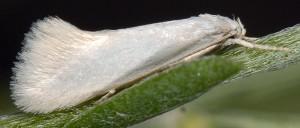 Elachista argentella 4