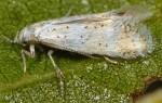 Elachista baldizzonei (I, G)
