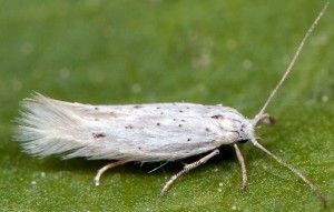 Elachista berndtiella 2