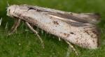 Elachista biatomella (I)