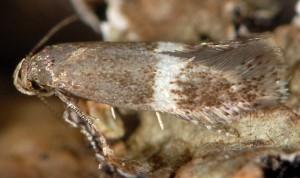 Elachista bisulcella 2