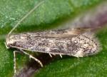 Elachista canapennella (I)