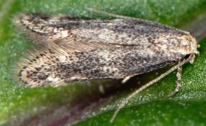 Elachista canapennella 2