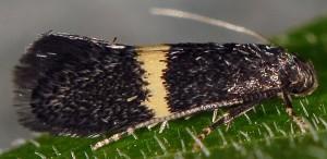 Elachista chrysodesmella 1