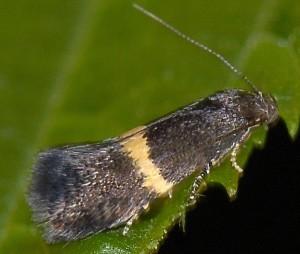 Elachista chrysodesmella 2