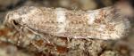 Elachista constitella (I, G)