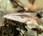 Elachista contaminatella (I)