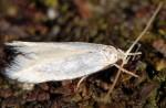 Elachista contisella (I)