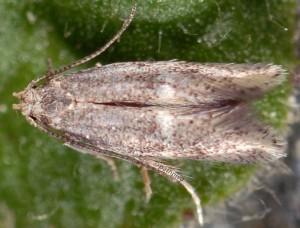 Elachista corsicana 3