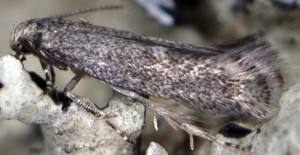Elachista corsicana 4
