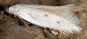 Elachista festucicolella 3
