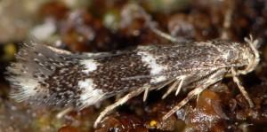 Elachista freyerella 1