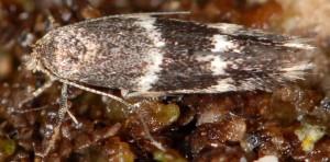 Elachista freyerella 2