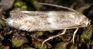 Elachista freyerella 3