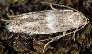 Elachista freyerella 4