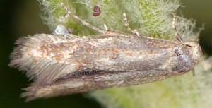Elachista glaserella 3