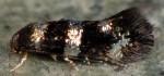 Elachista gleichenella (I)