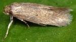 Elachista heinemanni (I)