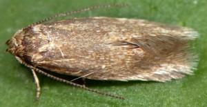 Elachista heinemanni 3
