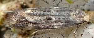Elachista infuscata 4