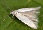 Elachista lastrella (I)