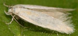 Elachista lastrella 2