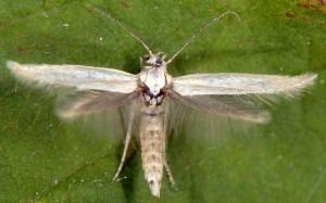 Elachista lastrella 3