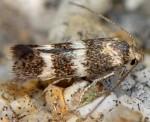 Elachista littoricola (I)